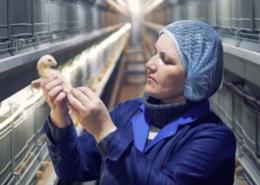 framelco farming CHICKS welsh accent pete edmunds british voiceover-V2
